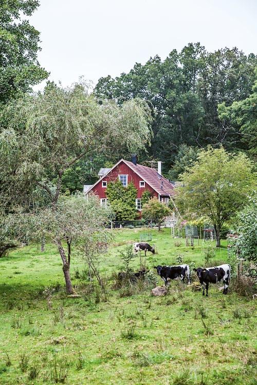 I Sövröds Hage traskar korna runt bland spetsdaggvide, rönn, benved, klätterhortensia och ek.