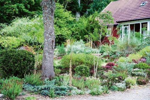 Hedträdgården innehåller Himalaya-en 'Blue Star', kärleksört, silverarv, isop, kanadahypericum 'Gemo', fingerborgsblomma, olika sorters höst- och vårljung samt idegran.