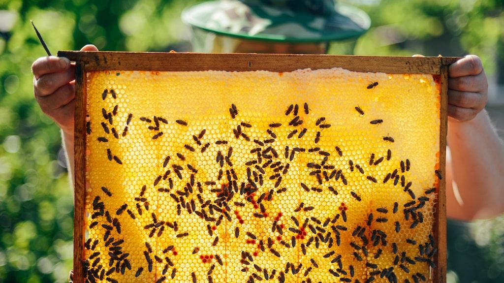 Vad är egentligen honung? Jo, det är växtnektar som bina samlat och sedan omvandlar till honung i dessa vaxkakor.