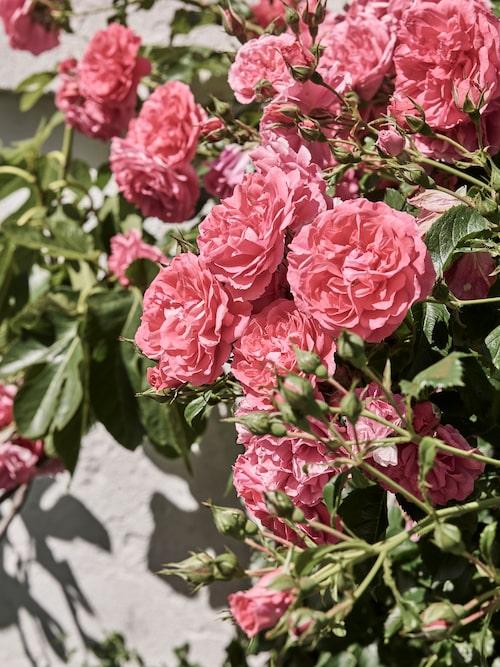 I trädgården finns många vackra rosor som har skapat trivsel och spritt väldoft sedan långt innan Maria flyttade dit.