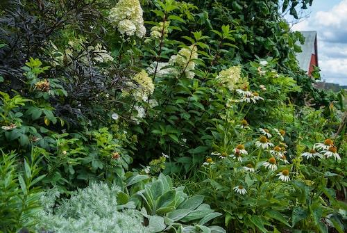 En plantering med vackra bladkombinationer. Krypmalört samsas med lammöron 'Big Ears' och purpurfläderns röda blad. Blomning i vitt står solhatt och vipphortensia för.