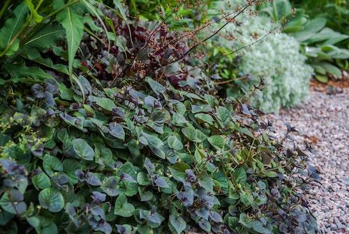 Purpurviol, som blommar i violblått tidigt på säsongen, är fin som kantväxt.