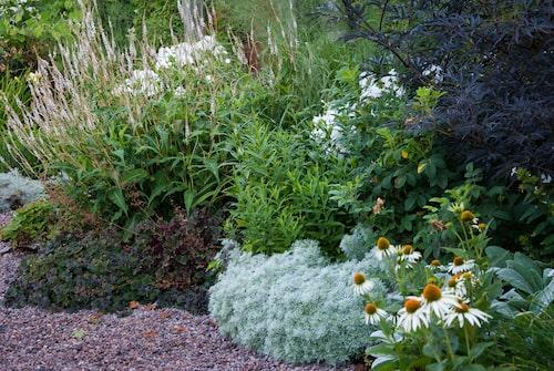 En vacker rabatt med blodormrot med ljusa spiror, purpurviol, alunrot, krypmalört och lammöron som kantväxter, samt solhatt med vita blommor. Den mörka busken med flikiga blad är en purpurfläder.