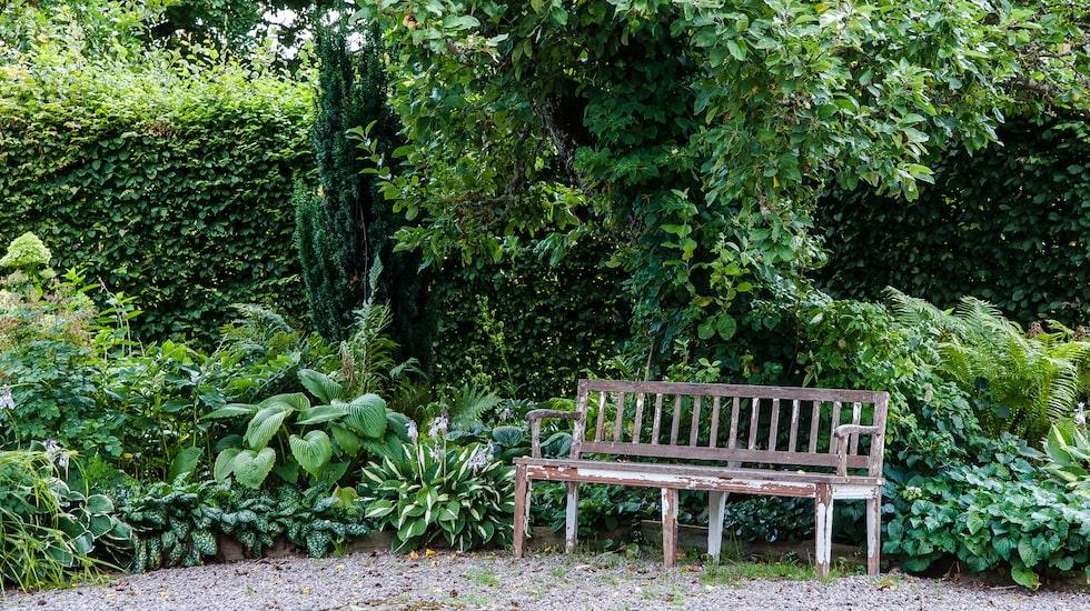 En hörna med lugnande bladväxter i många nyanser av grönt. Bakom bänken står funkia 'White Bikini'.