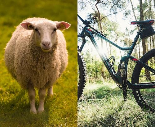 Ta en tur med cykeln eller hälsa på ett får i Hemlingby.
