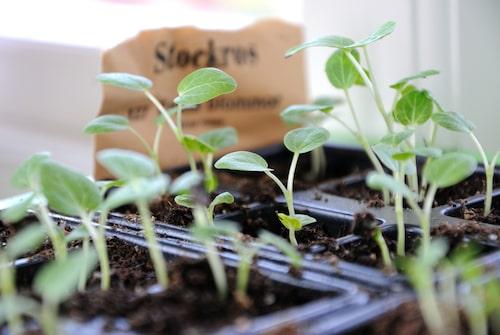 När plantorna börjat få blad är det dags att skola om dem.