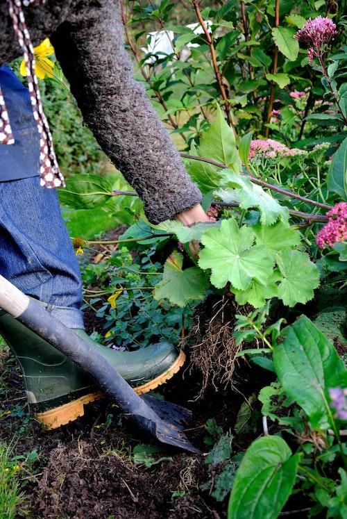 Att dela på höstblommande perenner gör att du får fler blommor av samma sort – ekonomiskt!