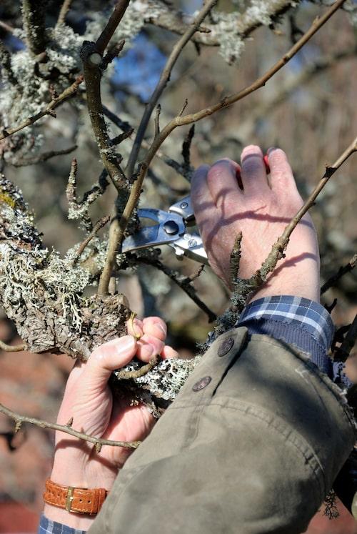 Tänk på att lönnar och björkar ska inte beskäras i mars. Inte heller körsbär och plommon, dem tar man efter blomning eller efter skörd. Barrväxter bör man också vänta med eftersom de är känsliga för vårsol.