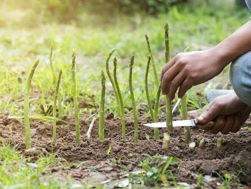 Att odla sparris tar tid men är väl värt väntan!