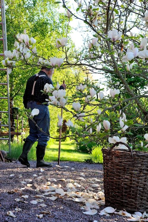 Magnolian bjuder på magnifik skönhet. Tänk på att den behöver skyddad placering.