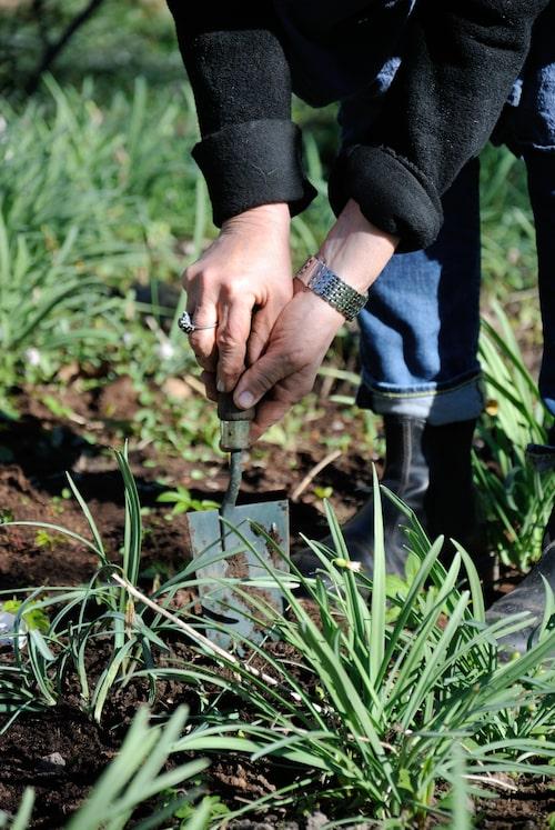 """Dela stora plantor med snödroppar efter blomning. På så sätt kan du få din """"snödroppsmatta"""" att breda ut sig."""