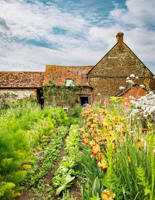 Rader av rödgul iris lyser upp i trädgårdslandet.