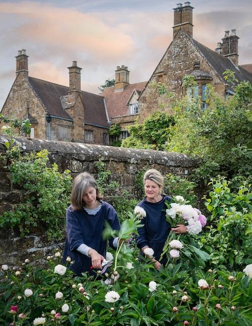 Bridget Elworthy och Henrietta Courtauld i arbete med att skörda pioner åt marknaden i London. Just denna sort härstammar från Bridgets hemland Nya Zeeland.