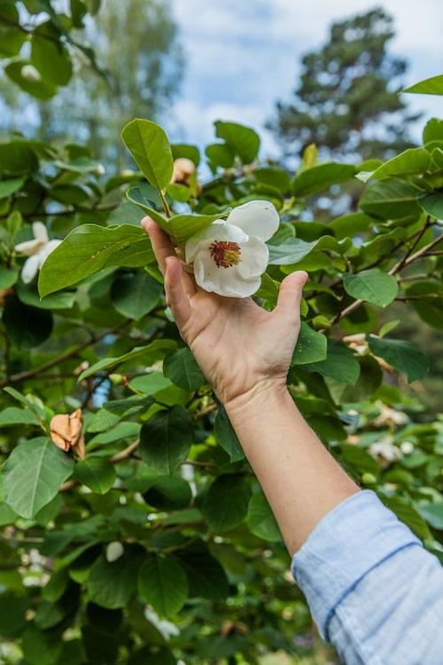 Ett av trädgårdens vackraste träd är litet som en buske - och heter just buskmagnolia.