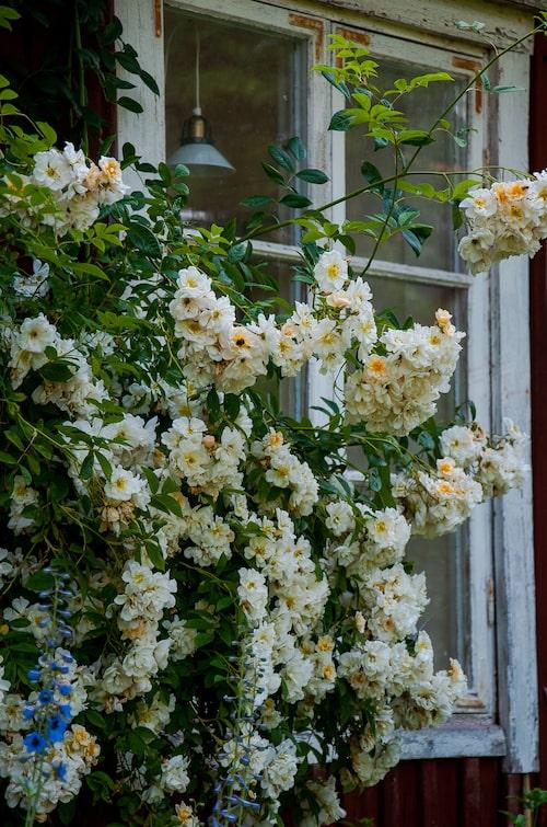Satsa på kraftigväxande klätterväxter som ger ett generöst intryck, här en honungsros som har kastat sig över huset.