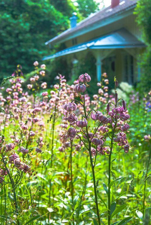 Plantera växter med en tidlös känsla, som krolliljor och pingstliljor som ser ut att ha funnits länge på platsen. Låt dem sedan sprida sig. Avvakta med att klippa gräset tills blommorna har vissnat ner helt.