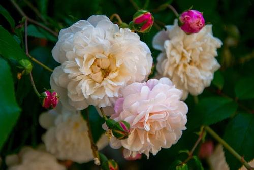 Skapa en sinnlig trädgård, som doftar. Rosor är ett bra steg på vägen.