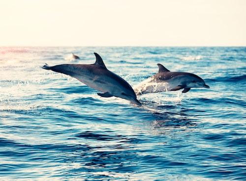 Ta en båttur så får ni kanske se delfiner hoppa och simma.