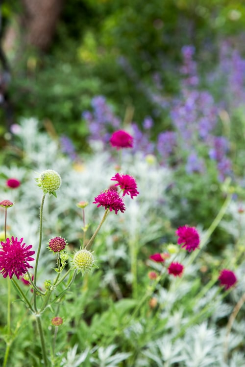 Fjärilarna gillar grekvädd, och grekvädd gillar sol. Med sina lysande, vinröda blommor passar den bra att samplantera med bland annat vitmalört och stäppsalvia.