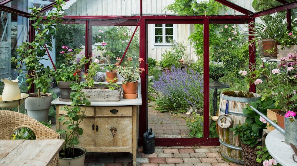 Att bygga ett växthus är bland det bästa paret har gjort. Tomaterna odlas på friland, och sommartid används växthuset mest som ett rum för njutning, men under den kalla, öländska våren ser det annorlunda ut - då är det så fullt med frösådder, småplantor och pelargoner att man knappt kan tränga sig in.