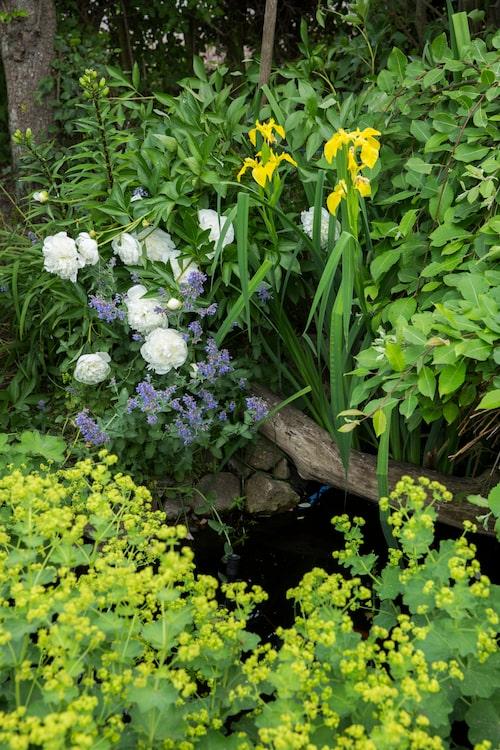 Pioner och iris, här i form av irisarten svärdslilja, bildar stomme i trädgården tillsammans med alla rosor.
