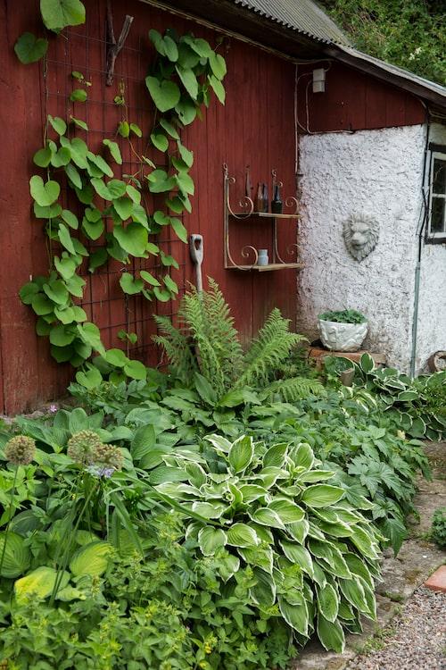 Funkiorna mot laduväggen älskar sin växtplats i trädgårdens frodigaste hörna. På väggen klättrar pipranka på en bit armeringsnät.