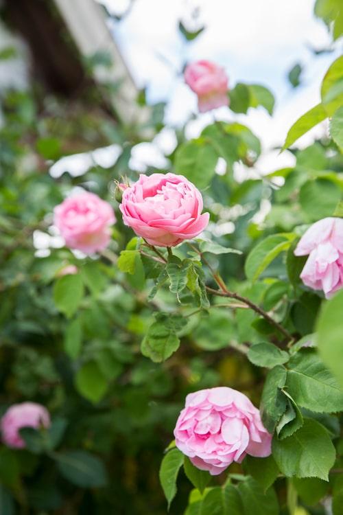 Nästan ingen ros blommar starkare och ljuvligare än den första Austinrosen, den moderna buskrosen 'Constance Spry'. Jeanette har gett den en hedersplats nära entrén.