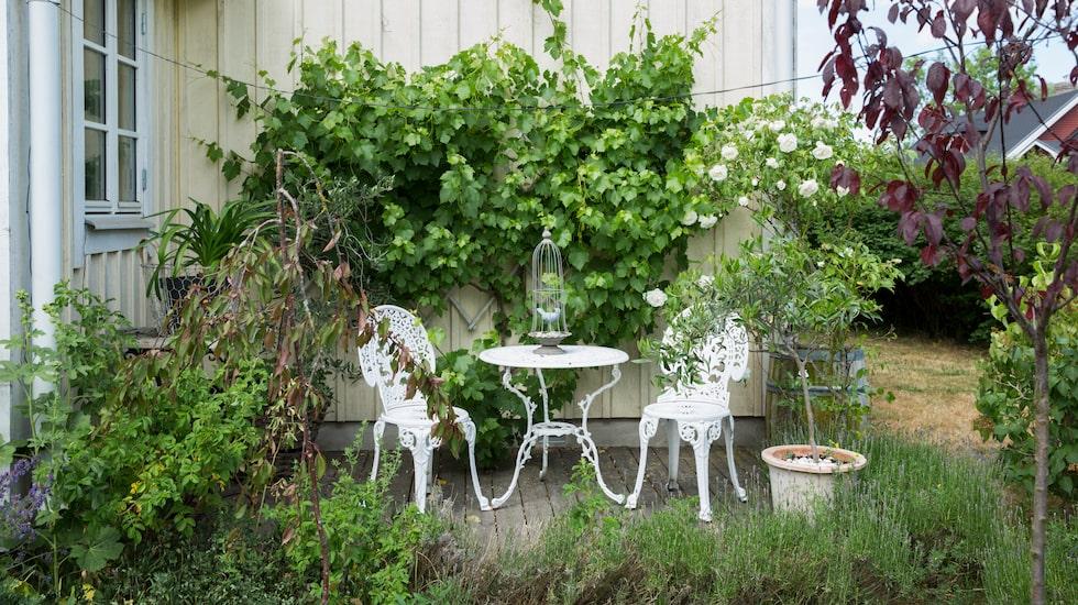 Öland kallas ibland för Nordens Provence. I den franska hörnan växer vinrankan mot väggen.