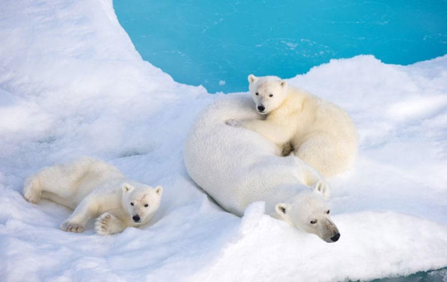 1. Isbjörnar är en egen art, starkt anpassad till Arktis, visar ny forskning. De har varit nära att dö ut flera gånger och med ett varmare klimat hotas de på nytt.