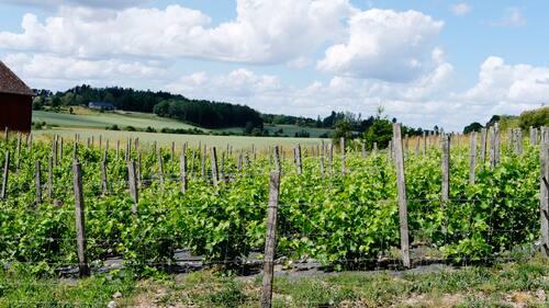 5.500 vinstockar finns på Blaxsta som ligger utanför Flen i Södermanland.
